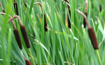 Managing cattails with water level control