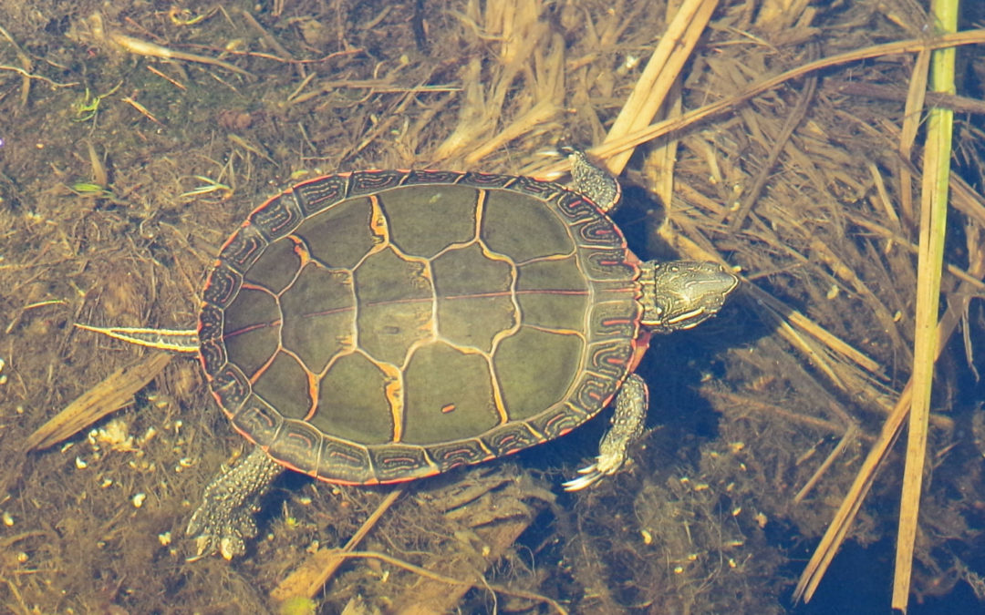 Painted turtle submerged underwater