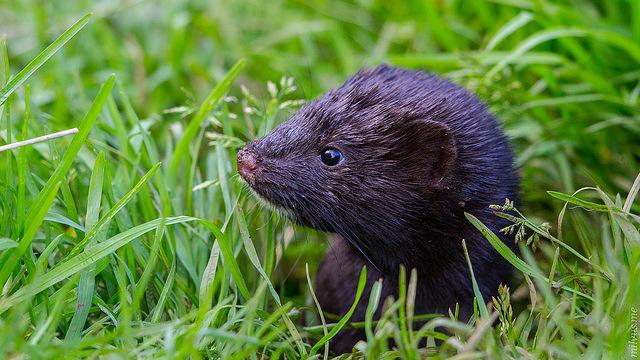 mink in grass