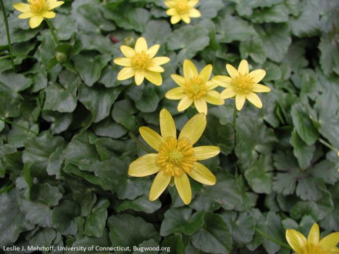 Photograph of the flowers of the wetland invasive lesser celandine.