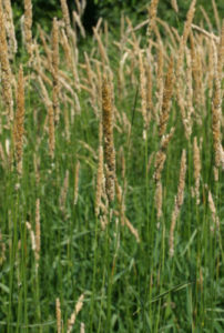 Closeup of reed canary grass stand