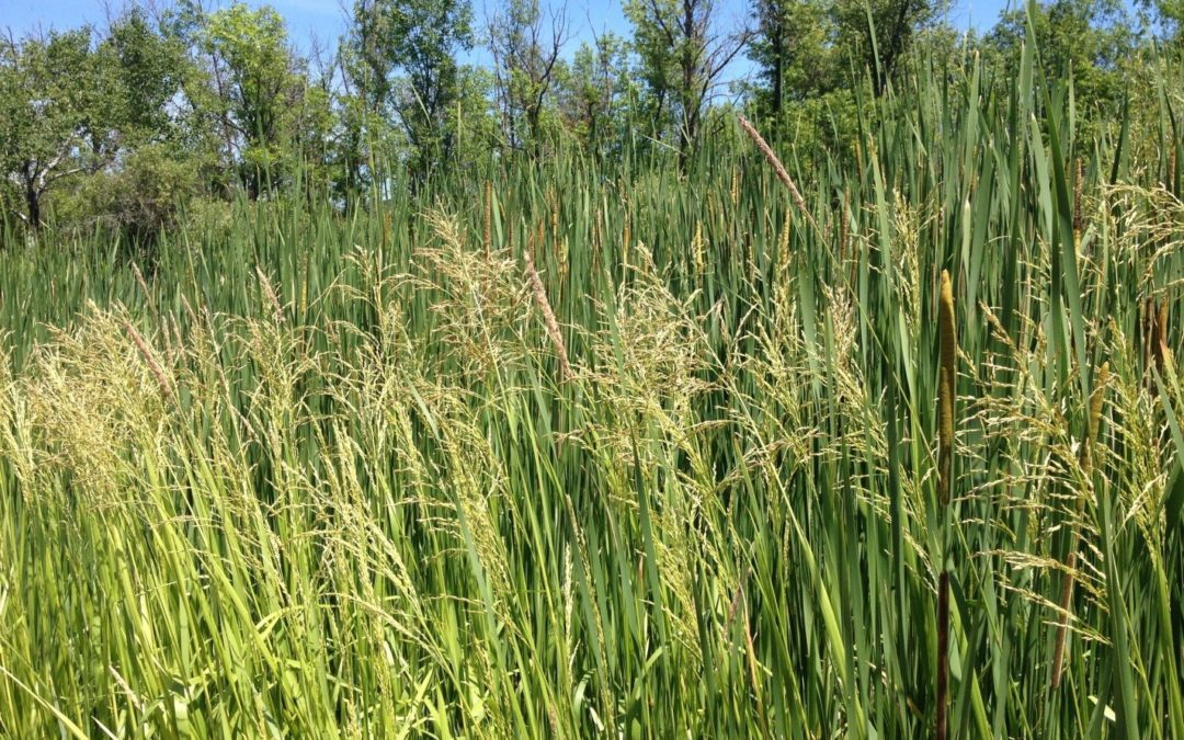 Spotting reed mannagrass in your wetland