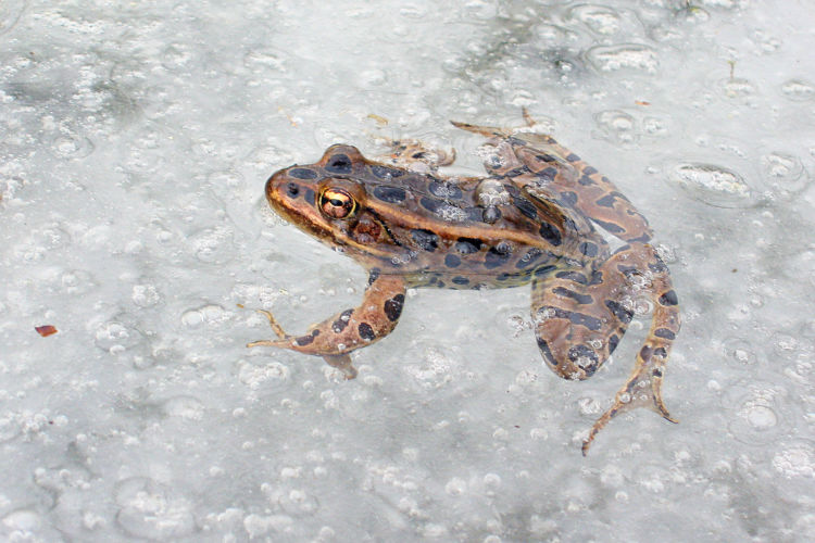 northern leopard frog in icemelt at Otter Ditch at Fair Meadows, March 29, 2005