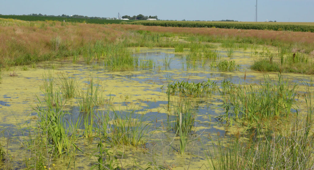 When staff from WWA visited the constructed wetlands this summer they were vibrant, full of life, and hard at work cleaning runoff from nearby fields.