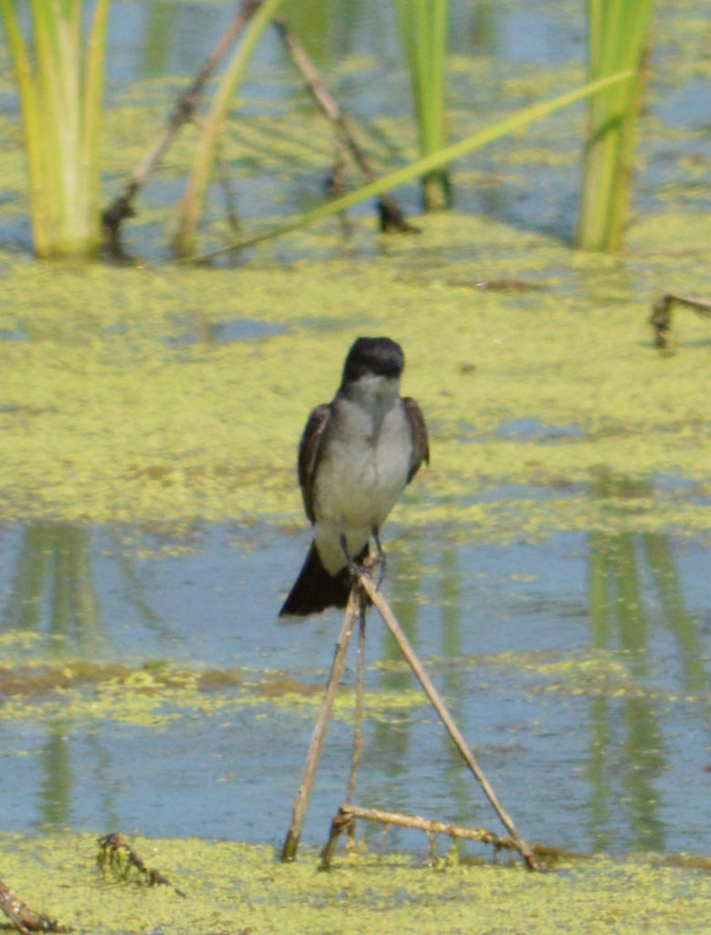 A bird sits in reeds in the constructed wetland.