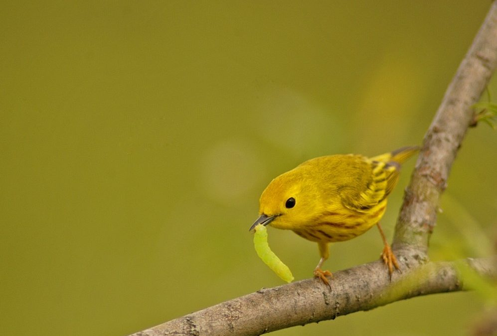 Of warblers and willows