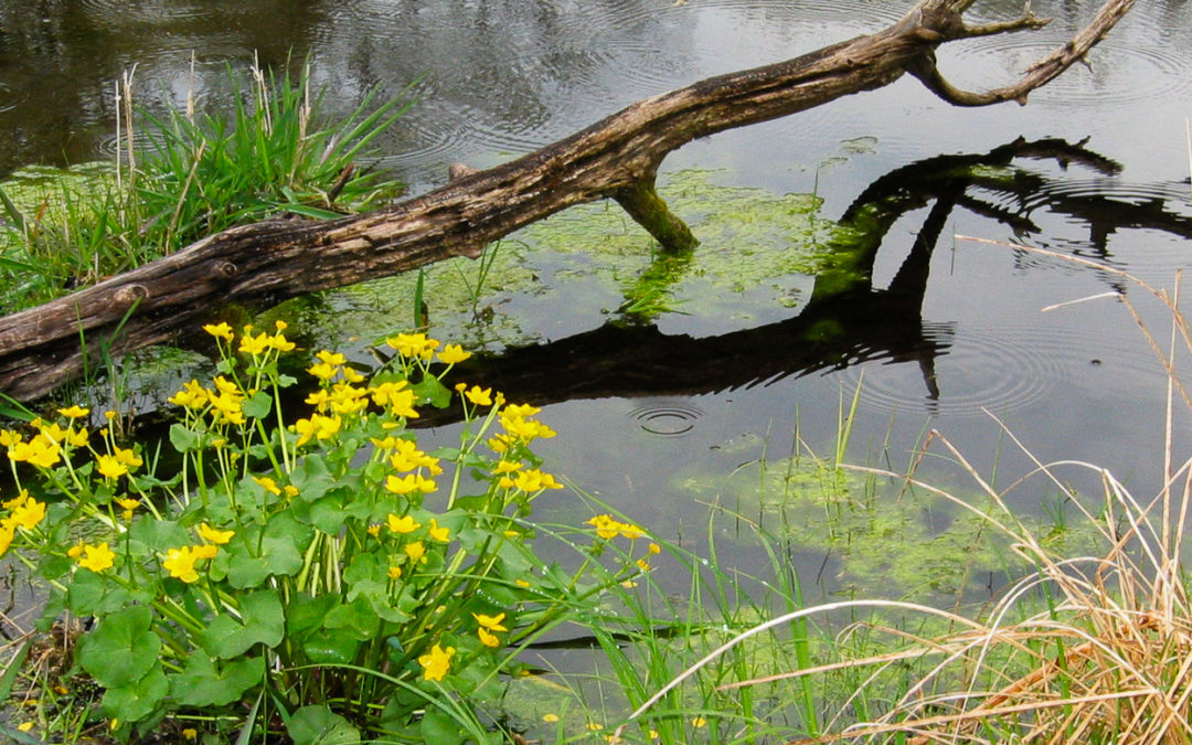 Marsh marigold blooming along a waterway.