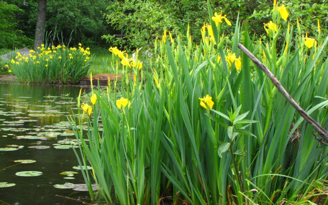 Love that yellow iris in your wetland? Think again…
