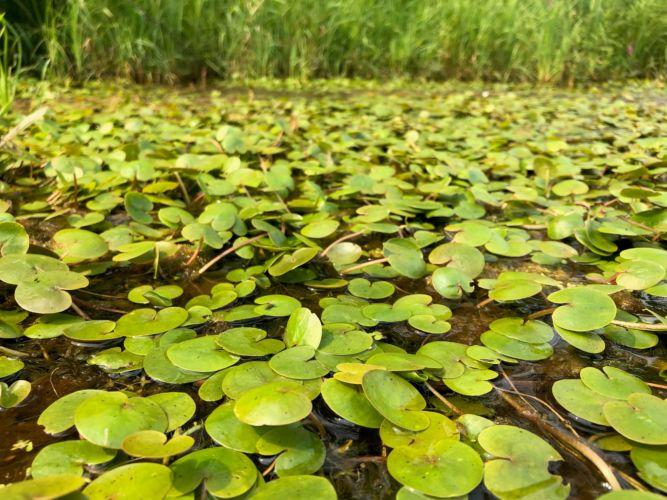 New wetland invasive plant discovered in Wisconsin: European frog-bit