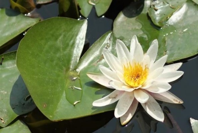 photo of blooming white water lily