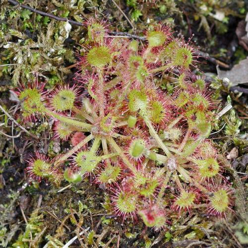 A sundew plant.